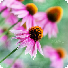 Holding on to Summer (Mike Golding) Tags: pink flowers blue summer sun green yellow garden season focus bokeh f14 85mm coneflower ef85mmf12 bokehlicious