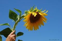 il chicco è germogliato (mariarita.g) Tags: estate emergency fiore 2009 girasole saluto dedicata ciaoteresa ilchiccoègermogliato