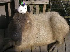 CIMG6101 (CapybaraJP) Tags:  capybara