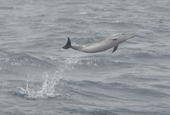 Azores, Young  Dolphin_ (GPR06) Tags: ocean water jumping dolphin azores faial gailrichardson grp06