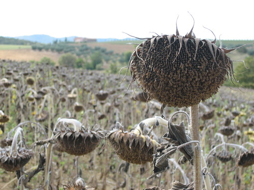 Dead Sunflowers 005