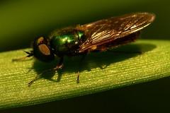 Chloromyia formosa (Walwyn) Tags: soldier fly formosa warwickshire diptera stratiomyidae chloromyiaformosa walwyn chloromyia draycotemeadows