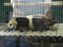 KouKou 2009/09/19 (TaoTaoPanda) Tags: panda koukou ojizoo