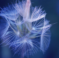 repose in blue (-justk-) Tags: blue copyright flower macro nature seed dandelion delicate wonderfulworldofflowers allmyimagesarecopyrighted©allrightsreserveddonotusecopyandeditmyimageswithoutmypermission