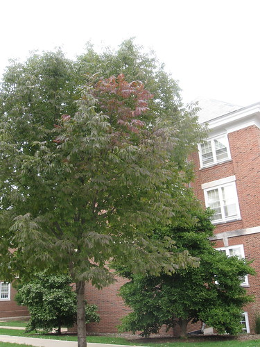 Transition Thursday - Week 1 - Fraxinus americana