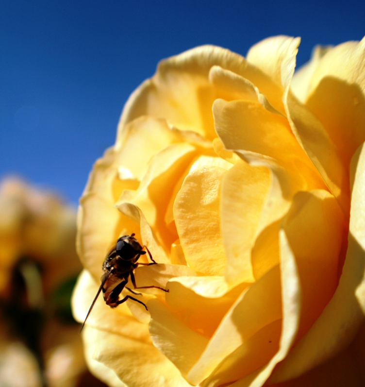 Yellow Rose and A Bee