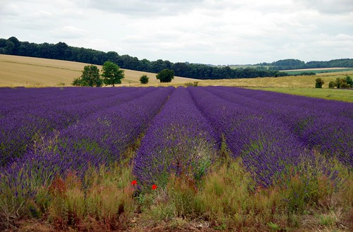 snowshill lavendar farm, the cotswolds