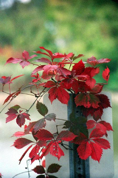 Red Vine on Sign
