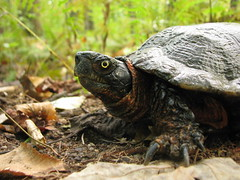 Old male Wood Turtle by rebonnett, on Flickr