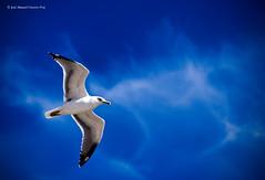 Delta (Jose Ossorio 2.0) Tags: blue sky espaa birds azul nikon andalucia explore pajaros cielo cadiz frontpage gaviota 200mm d60 campodegibraltar specanimal fotomision a3b abcgroup joseossorio peregrino27newvision