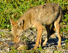(nemesis1832) Tags: coyote morning food plants green eye dogs nature animals river outdoors losangeles rocks close carrion scavenging