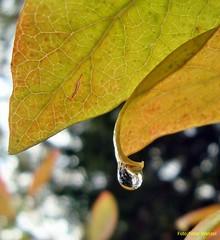 herbstl.Garten-heute (peterphot) Tags: bltter waterdroplets tropfen