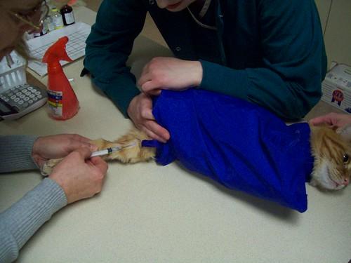 flickriver: photoset 'restrain cats safely' by olathe animal, Cephalic Vein