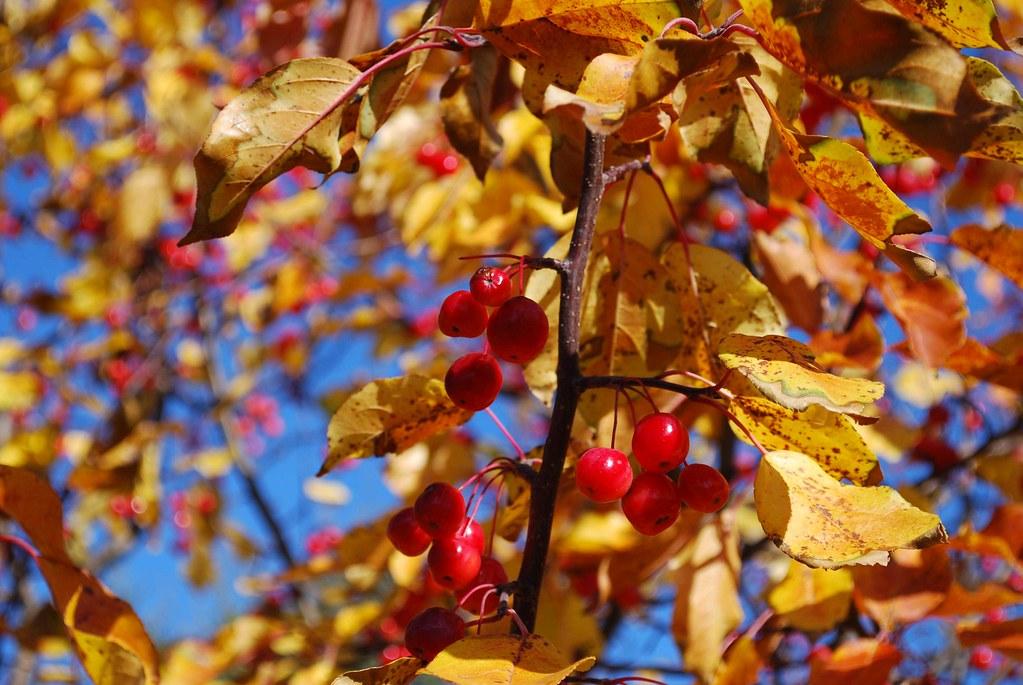 Maraschino Cherry Tree?