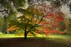 The Tree of Light (Nala Rewop) Tags: autumn trees colour leaves golden colours arboretum westonbirt