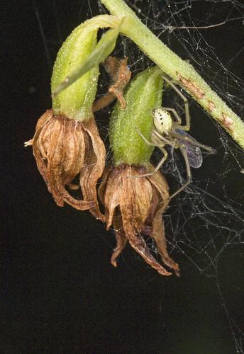 orchidées et araignées - Page 3 4072804197_9270848778