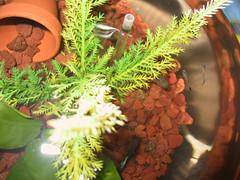 Baby Guppies in Bowl (cin_kong) Tags: fishbowl guppy livebearer