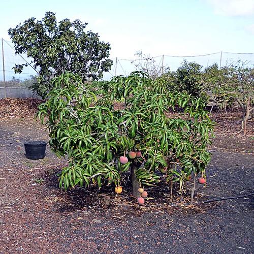 Mangobaum fertig