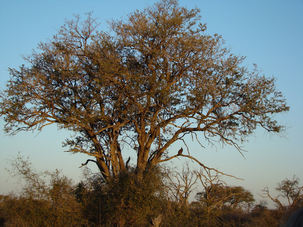 DSC08461 Hooded Vulture in tree