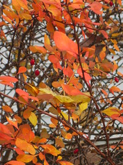 orange hawthorne (linnaea's walks with Jack) Tags: red orange fall nature garden myworld shrubbery redberries