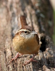 Carolina Wren (mattlev12) Tags: