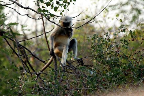 Low 2009-11-29 Sasan Gir - 01 Safari 23
