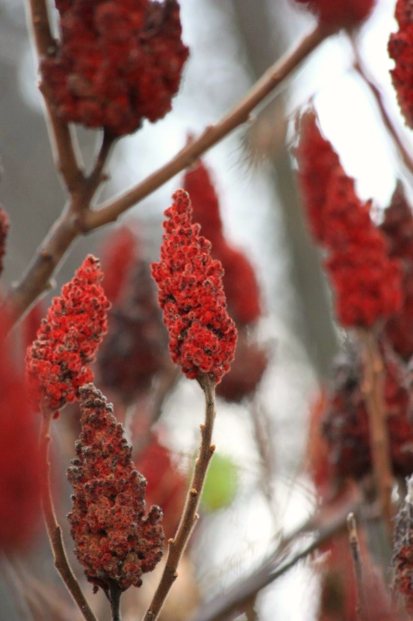 Sumac along the Humber River