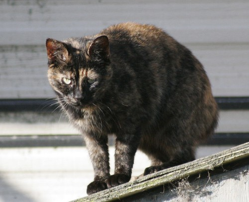 Rooftop Tortoise Shell Cat