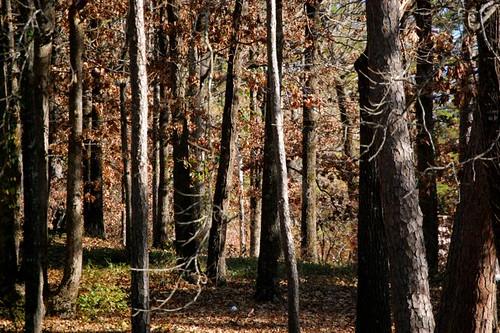 piney woods