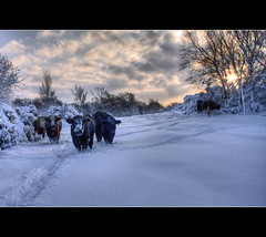 It's cold out here (Craig Williams Photography) Tags: winter wild snow canon sussex cows southeast ashdownforest craigwilliams canon40d 20mmf28usm vosplusbellesphotos vividstriking craigwilliamsgallery