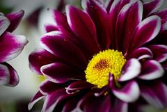 flower2 (Danish S) Tags: flowers macro nature nikon maroon 60mm f28 d80 concordians