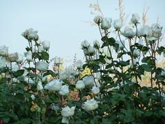P1000030 (gzammarchi) Tags: italia colore rosa natura campagna fiore bianco paesaggio roseto pianura imolabo casolacanina