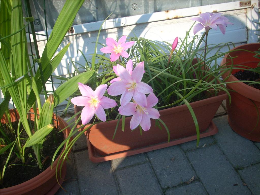 Zephyrantes grandiflora (floarea zefirului) forumul-florilor Lena - Pagina 2 5844567828_f4f209bdb2_b
