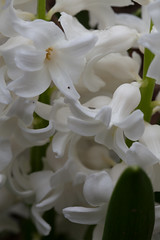 jdy082 bpl Hyacinthus Orientalis White epl Blo RbgbYard Elo bgr3egr XX20110323a5777.jpg (rachelgreenbelt) Tags: yard hyacinthus hyacinthusorientalis hyacinthusall rlcrec