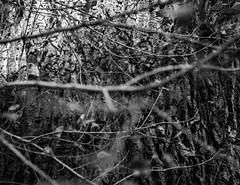 20140314 (zzkt) Tags: trees monochrome au healesville greyscale f24 iso640 leicasummiluxm35mmf14asph leicam9 ¹⁄₅₀₀sec ¹⁄₅₀₀secatf24