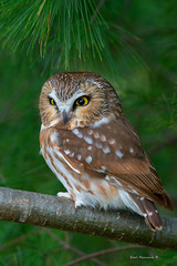 Do you like my eyes?? (Earl Reinink) Tags: eye eyes cute animal earl reinink earlreinink naturephotography raptor owl nikon saw whet sawwhetowl ohuaaduaha