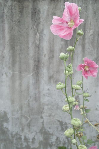 pink flower, plant