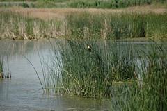 2009 Summer Vacation Great Salt Lake Nature Center 007 (wally_hurst) Tags: yellow blackbird headed