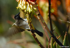 Bulbul coming in for a landing (Martin_Heigan) Tags: camera winter motion bird nature digital southafrica succulent aloe nikon dof martin action bokeh flight wing landing photograph d200 dslr avian blackeyed bulbul momentintime suidafrika voel pycnonotus barbatus blomme nikonstunninggallery heigan 70300mmf4556gvr tiptol aalwyn wsnbg mhsetbirds mhsetaloes mhsetbokeh mhsetflowers 5july2008 wickensii