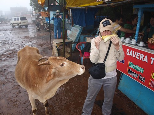 indian cow eyeing up my corn