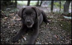 the fall. (lil' tara) Tags: cliff fall puppy woods labrador walk chocolate slant slope pwllycrochan