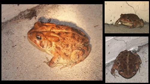 Oak Toad 1