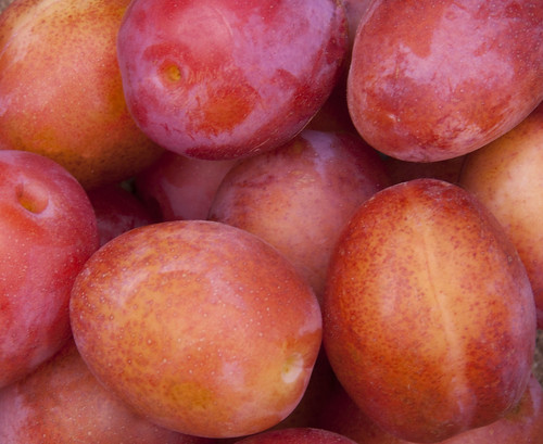 close-up on ripe plums><br /> <small>photograph by <a href=