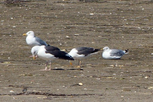 lesser black backed gull and local gulls 3