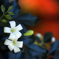 You gave me such precious hours (RachaelMc) Tags: flowers white flower beautiful garden backyard murraya bej brillianteyejewel rachaelmc rjmcdiarmid