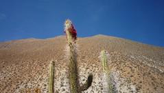 Cactus Parasite Flower (AltitudeAdict) Tags: cactus flower trekking mamalluca quintral preandes