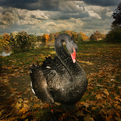 Black Swan (renschmensch) Tags: park autumn black bird art nature animal automne swan noir outdoor contemporary negro herbst natur pssaro otoo autunno schwan nero outono cygne cisne hatty vogel oiseaux pjaro zwarte uccello ku zwaan cigno  najaar ptk ern sonbahar siyah labu fekete madr ptakw  kuu     drehna szi jesieni         czarnego artistictreasurechest  abdzia    podzimu