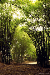 Sparkly (-clicking-) Tags: light nature landscape scenery path vietnam thala tyninh nulgarbamboo thickbamboo