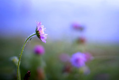 04:25 (Aleksandr Matveev) Tags: morning flower nature morninglight flora dof bokeh contax cz 3514 distagon czcontaxdistagon3514