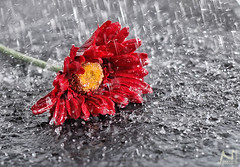 (NeSsRiN AL-KHALAF) Tags: red white flower love water rain yellow wow nice good blac    feellings  feell